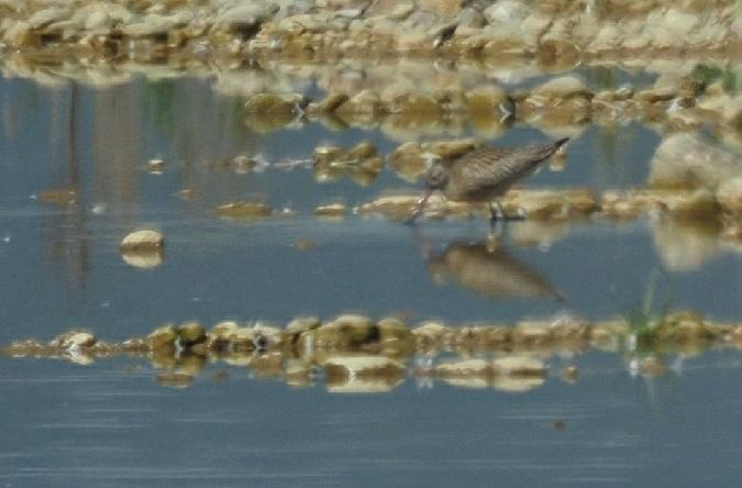 Bar-tailed Godwit  - Artur Mikrut