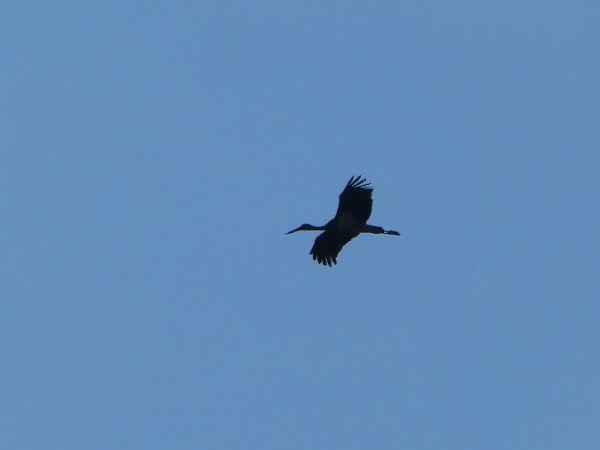 Cigogne noire  - Louis Jolivot