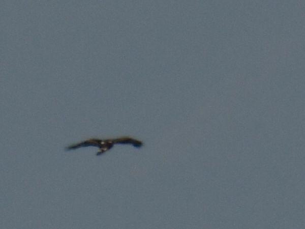Golden Eagle  - Szymon Sendera