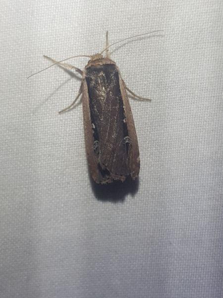 Ochropleura leucogaster  - Thomas Lux
