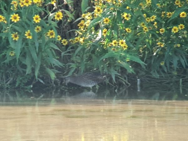 Spotted Crake  - Franz Stoll