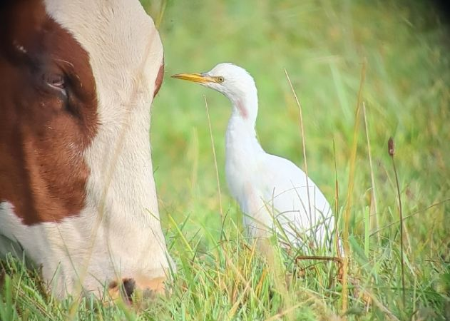 Cattle Egret  - Michel Cattin