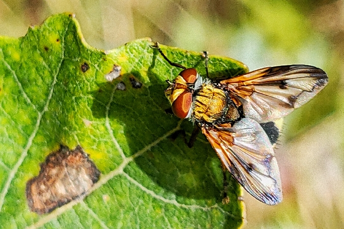Ectophasia crassipennis  - Pierre Loria