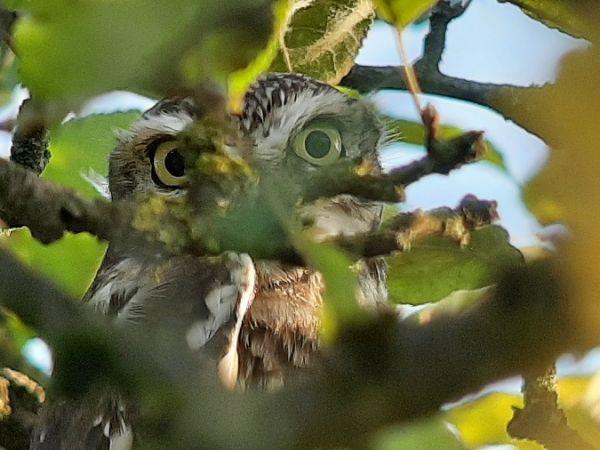 Little Owl  - Franz Stoll