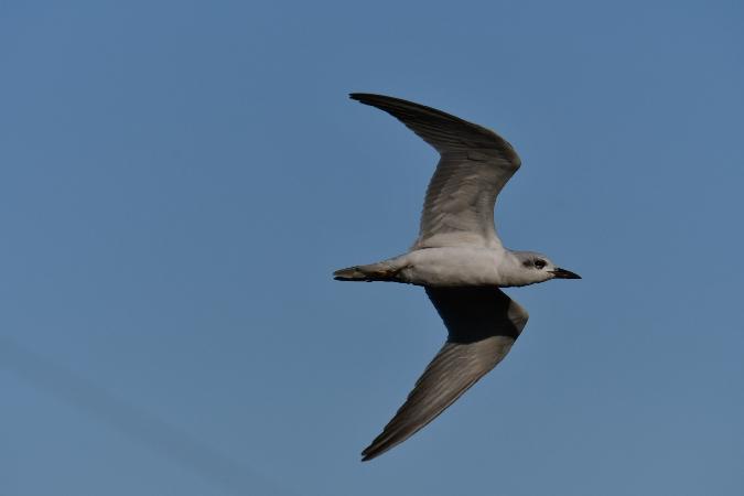 Gull-billed Tern  - Szymon Sendera