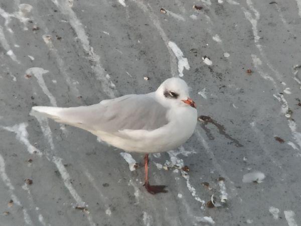 Mediterranean Gull  - Michał Piotrowski