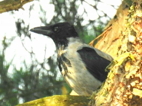 Hooded Crow  - Antoni Abad
