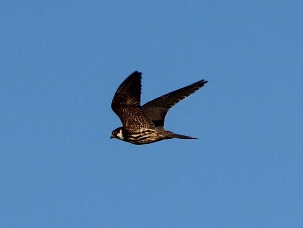 Faucon hobereau  - Pietro Scarpa