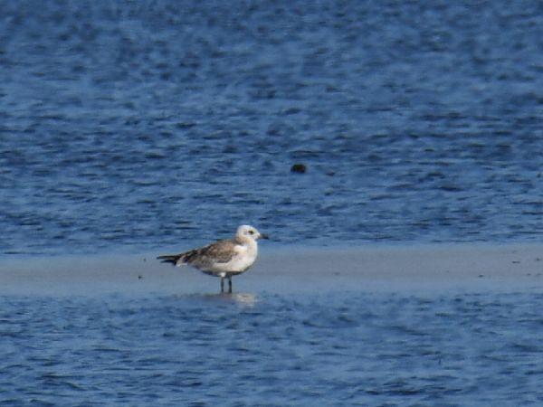 Mediterranean Gull  - Szymon Sendera
