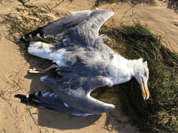 Yellow-legged Gull  - Frédérique Paquin