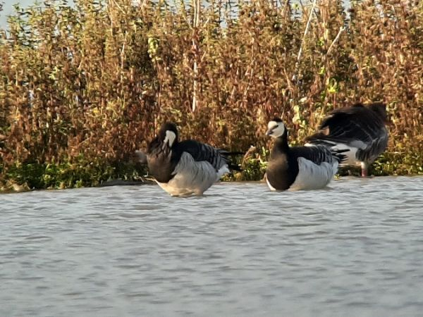 Barnacle Goose  - Franz Stoll