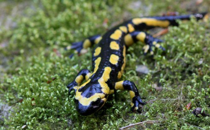 Salamandre tachetée  - Claude Garnier