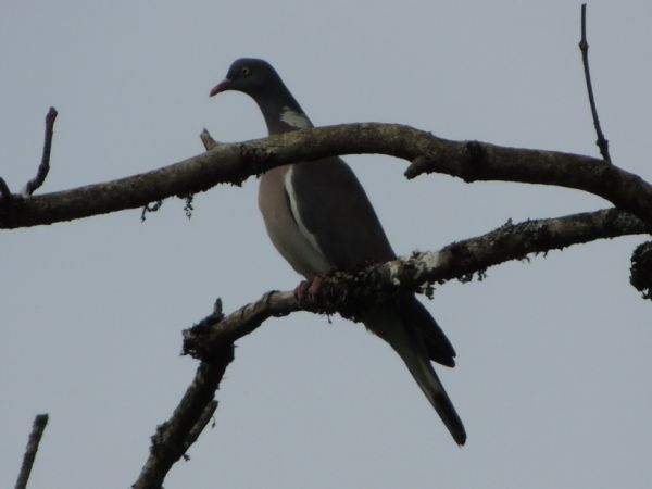 Pigeon ramier  - Michèle Gallecier