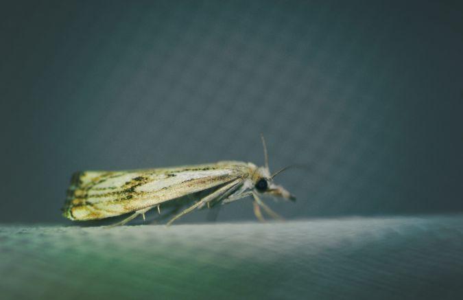Catoptria falsella  - Kevin Guille(GNUFC)