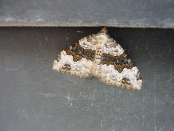 Epirrhoe galiata  - Nathan Trouverie