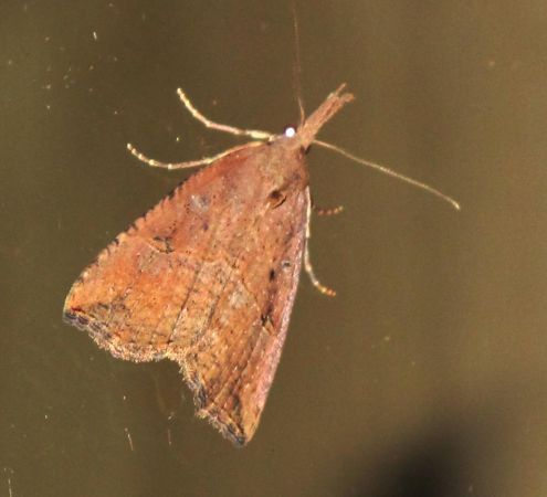Hypena rostralis  - Jean-Philippe Paul