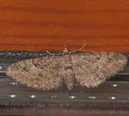 Eupithecia pusillata  - Jean-Philippe Paul