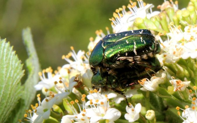 Coleoptera sp.  - Claude Garnier