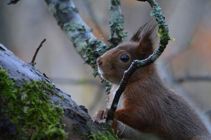 Écureuil roux  - Christian Chirio