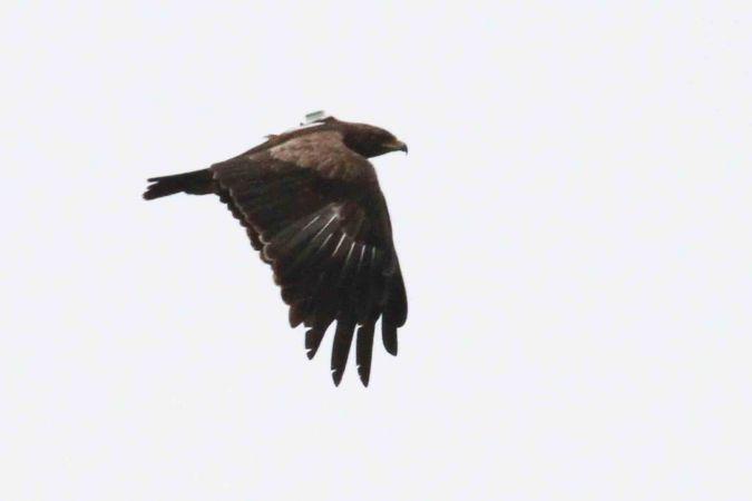 Aigle criard  - Jean-Philippe Paul