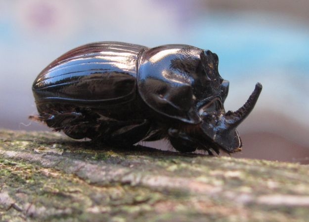 Coleoptera sp.  - Annette Faurie