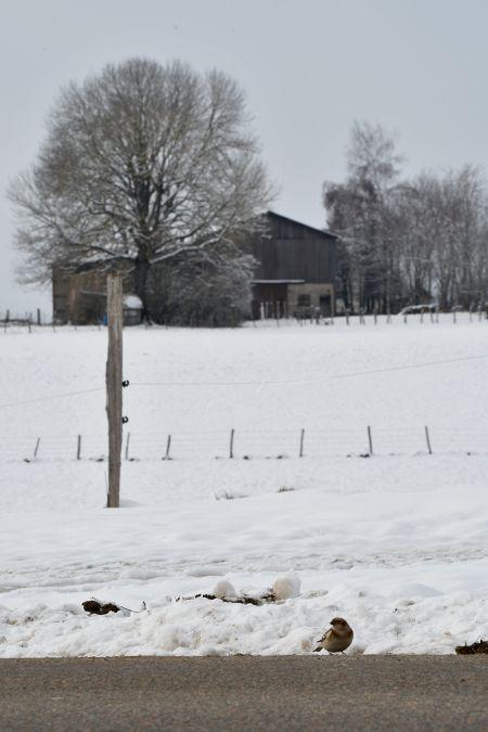 Bruant des neiges  - Thomas Armand