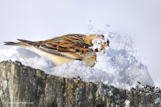 Bruant des neiges  - Claude Nardin