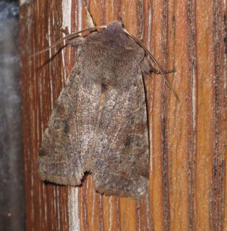 Orthosia incerta  - Jean-Philippe Paul