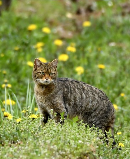 Chat forestier  - Mathieu Carisey
