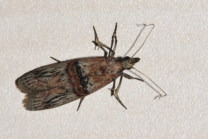 Nephopterix angustella  - Samuel Delon