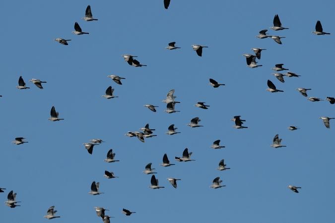 Pigeon ramier  - Gretl Nardin