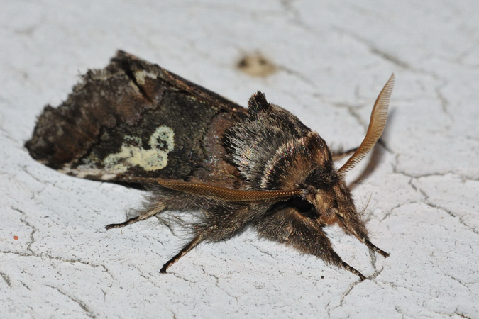 Diloba caeruleocephala  - Samuel Delon