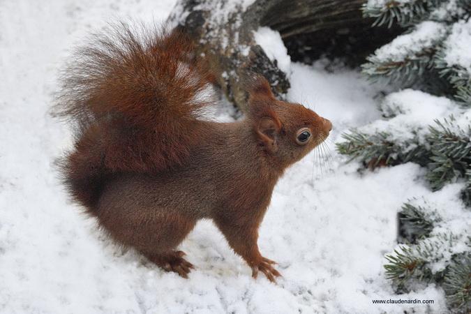 Écureuil roux  - Claude Nardin