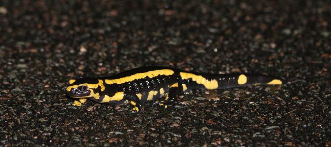 Salamandre tachetée  - Michel Pilette
