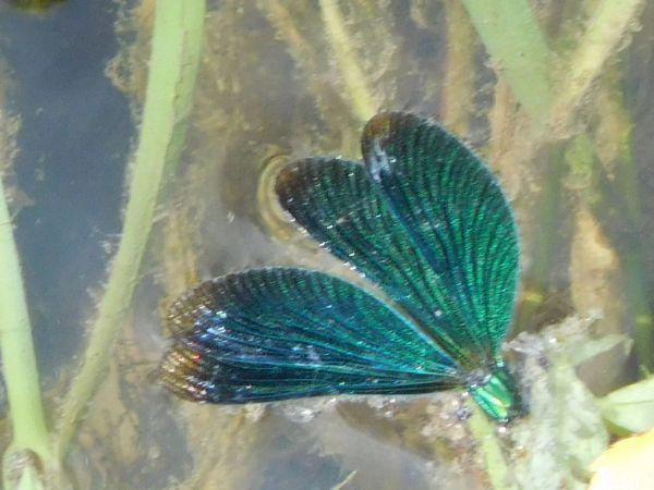 Caloptéryx vierge (C.v.virgo)  - Thierry Naudet
