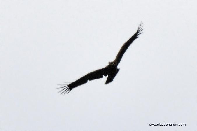 Aigle criard  - Claude Nardin