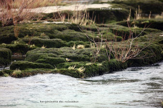 Bergeronnette des ruisseaux  - Patrick Moreau