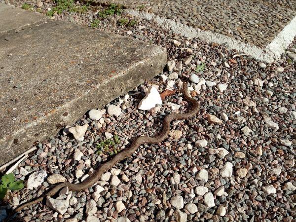 Couleuvre vipérine  - Tierce personne