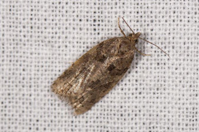 Cnephasia sp.  - Bernard Marconot