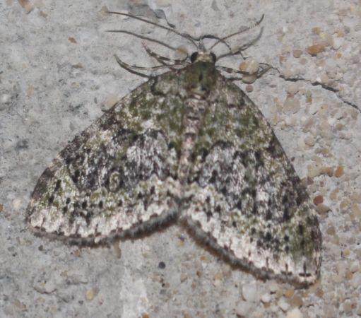 Euphyia frustata  - Michel Gauthier-Clerc