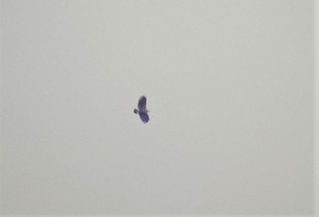 Aigle criard  - Timothée Bay-Nouailhat