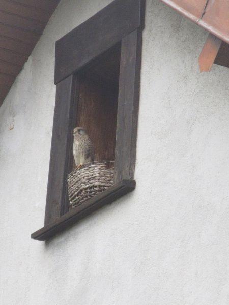 Faucon crécerelle  - Marie-Pierre Voisin
