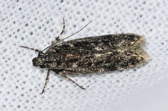 Gelechia nigra  - Samuel Delon