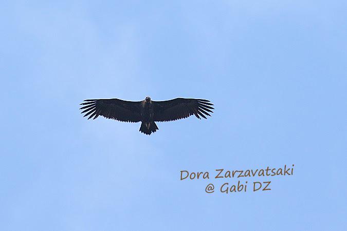 Vautour moine  - Dora Zarzavatsaki