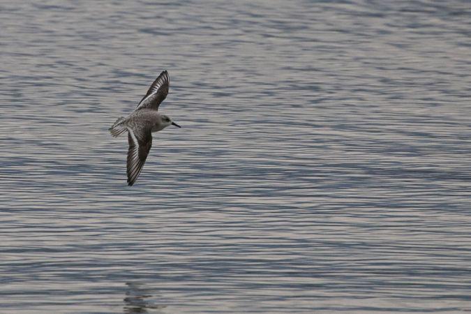 Bécasseau sanderling  - Claire Médan