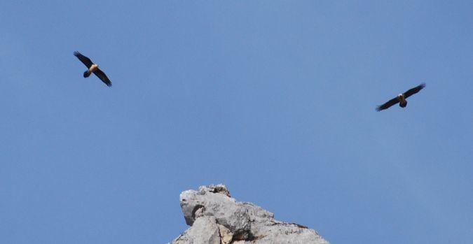 Gypaète barbu  - Didier Douay