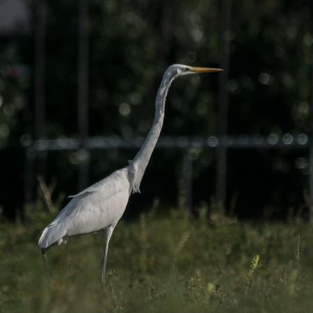 Grande Aigrette  - Mathieu Robert