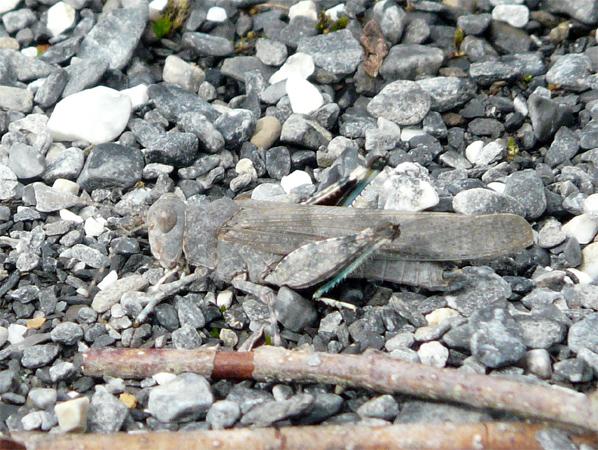 Oedipode aigue-marine (S. c. caerulans)  - Patrick Höhener