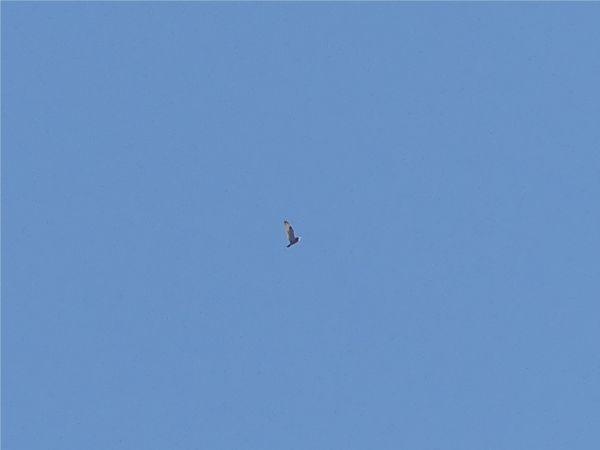 Hibou des marais  - Collectif Défilé de L'Ecluse