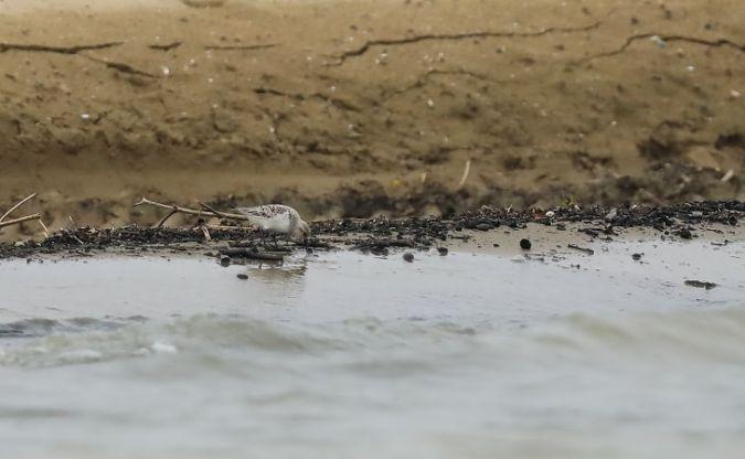 Bécasseau sanderling  - Christophe Charobert